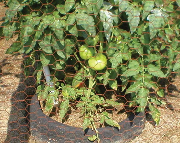 A complete guide for how to care for tomato plants, including how to plant tomatoes, how to keep diseases & pests at bay, how to water and harvest tomatoes.