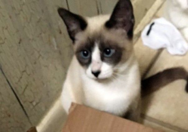 A Look At Siamese Cats With Images Cat Adoption Siamese Cats Snowshoe Cat
