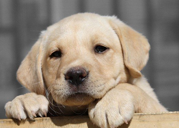 Lab puppy: Labrador Retriever, Little Puppies, Cutest Dogs, Dogs Breeds, Yellow Labs, Pet, Families Dogs, Labrador Puppies, Labs Puppies