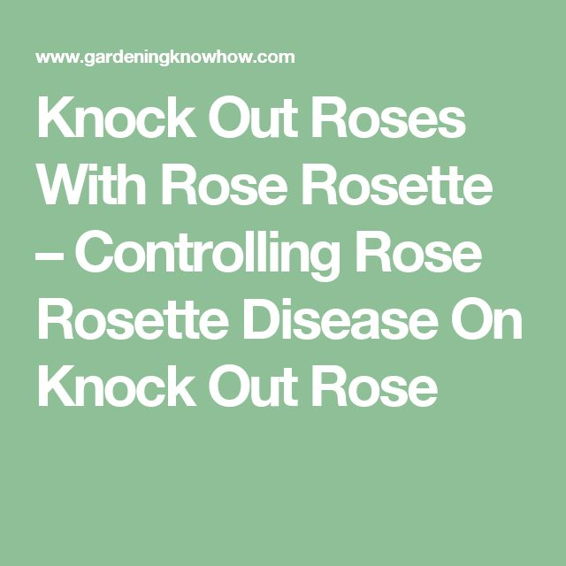 Knock Out Roses With Rose Rosette – Controlling Rose Rosette Disease On Knock Out Rose