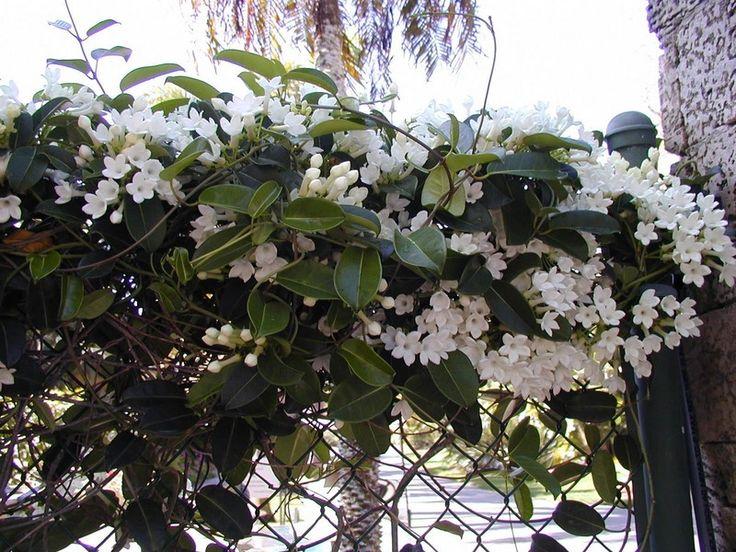 Stephanotis grandiflora Hawaiian Wedding Vine wonderfully fragrant