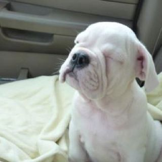 That is like my white boxer. He falls asleep sitting. Cute!