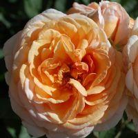 Róża Charles Austin / Charming Apricot- donica