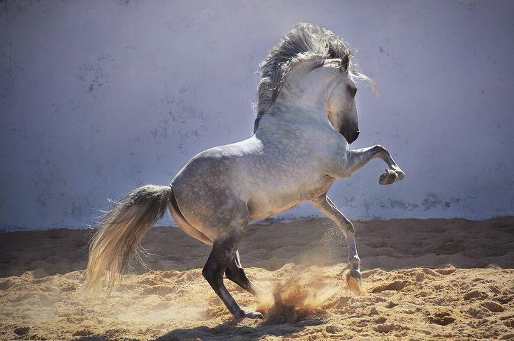 ZEUS Owner: Escola de Equitação de Alcainça, Portugal ©Ekaterina Druz