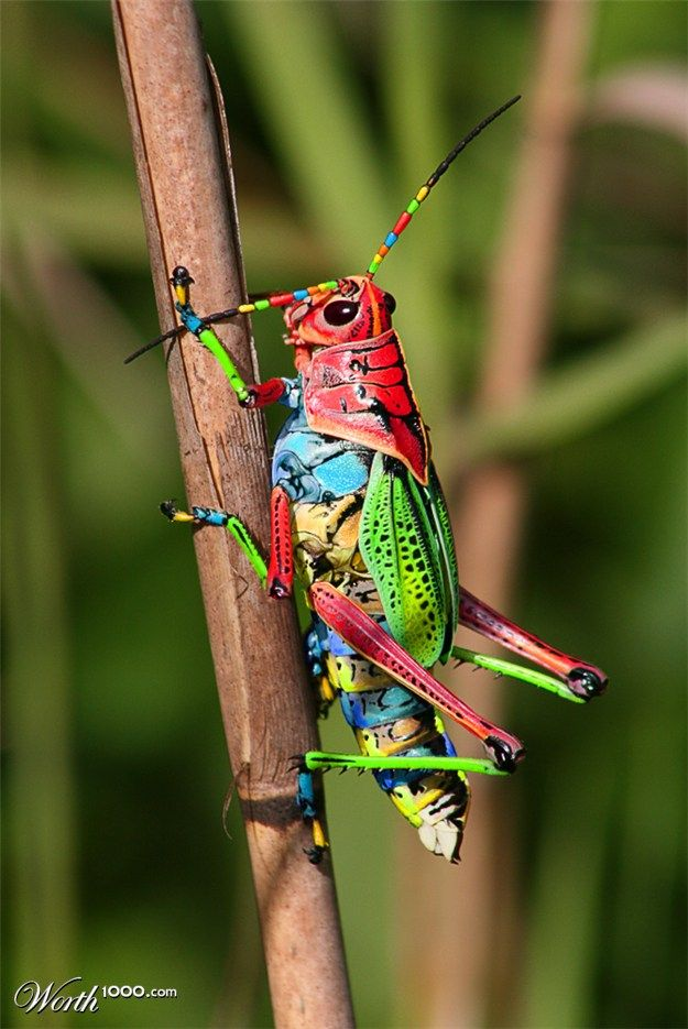 grasshopper  colored exquisitely as though trying out every colour in a brand new box of crayons!!