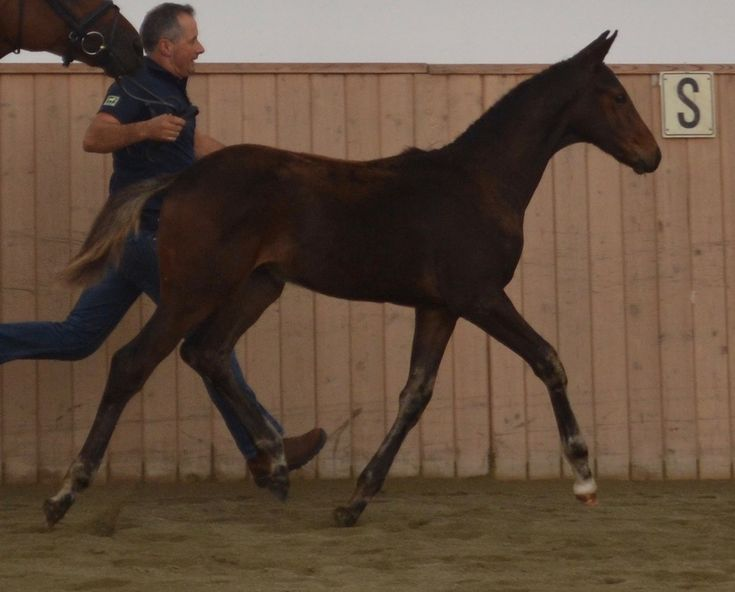 Diplomat DMV | 2016 Hanoverian Colt by Dreammaster DMV.    Find your dream horse at www.dreamcatchermeadows.com    #equestrian
