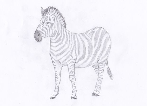 Step by Step Zebra Drawing Tutorial | How to Draw Animals?