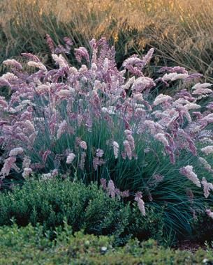 Ruby Grass - This clumping, blue-green foliage grass has amethyst-pink flowers that create fluffy, 8- to 12-inch-long plumes throughout the summer. Eventually, the flowers mature to the color of root-beer foam