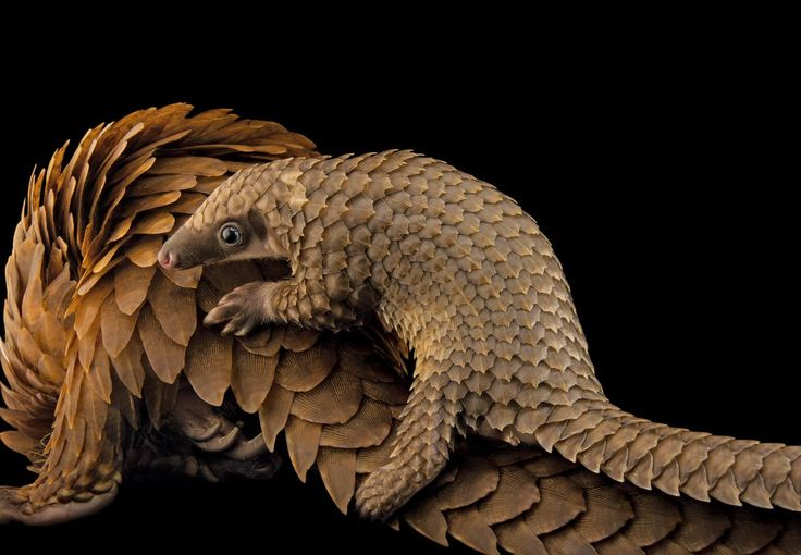 A baby African white-bellied tree pangolin hitches a ride on its mother at Pangolin Conservation, a nonprofit organization in St. Augustine, Florida.PHOTOGRAPH BY JOEL SARTORE