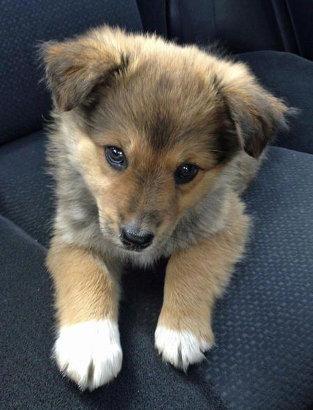 Shetland sheepdog puppy. Yep, I'd cuddle that.