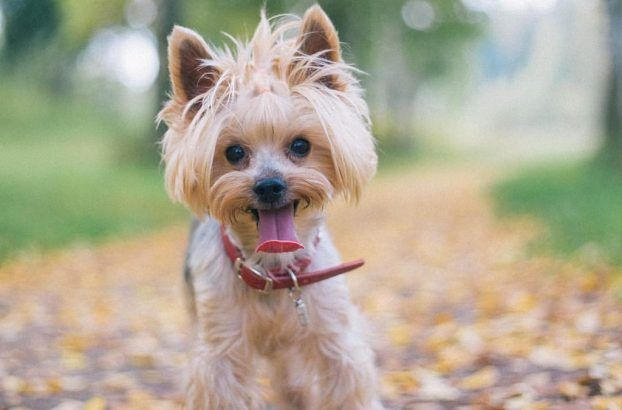 Haircuts For Males And Females 60 Pictures Yorkie Haircuts