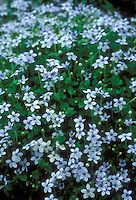 Blue flowers of creeping perennial plant Pratia pedunculata Little Star