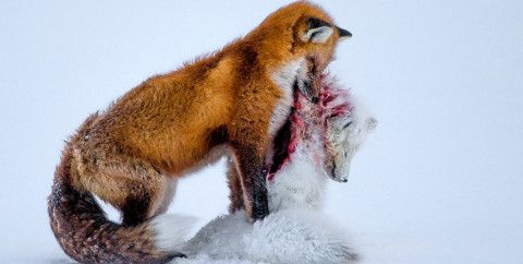 The National History Museum recently announced the winners of the 2015 Wildlife Photographer of the Year. The grand winner being 'A Tale of Two Foxes', a rare photo of a red fox carrying the bloodied carcass of its prey, an Arctic fox.