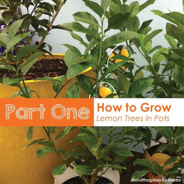 part one how to grow lemon trees in pots #easterdiy #aboutthegarden