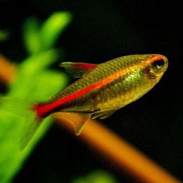24 best fishies images on pinterest aquariums fish for Good freshwater fish