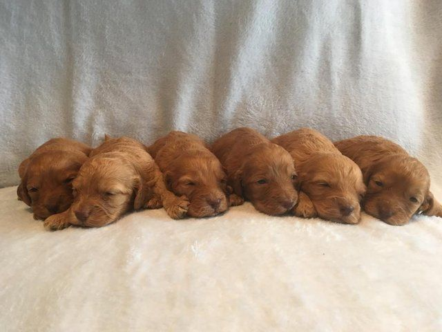 We Are Delighted To Announce The Safe Arrival Of Our Stunning Litter Of F1 Fox Red Cockapoo Puppies Who Arrived On Cockapoo Puppies Red Cockapoo Puppy Litter