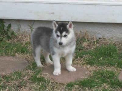 Alusky (Alaskan Malamute/Husky)  Because after we have a baby, we'll probably get a dog, and this dog looks awesome.
