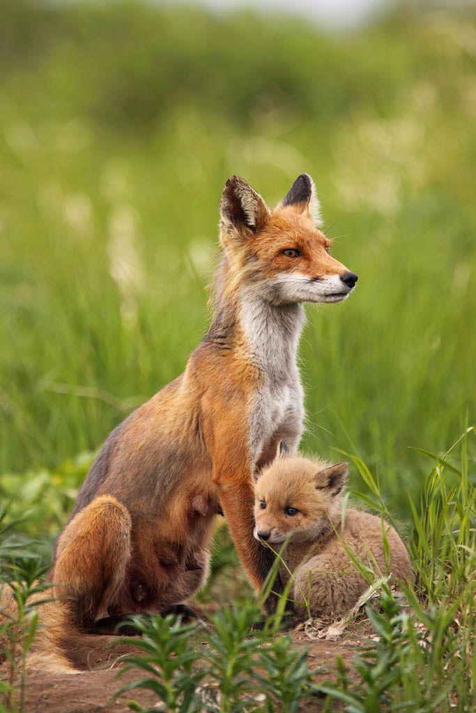Best 25+ Cute fox ideas on Pinterest   Foxes, Baby fox pet ...  Best 25+ Cute f...