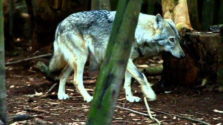 Garden Route Wolf Sanctuary - Wolf Video