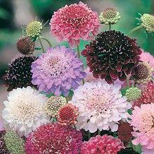 Praktvädd 'Tall Double Mixed' Fjärilsväxter, fjärilsträdgård, butterfly garden plant