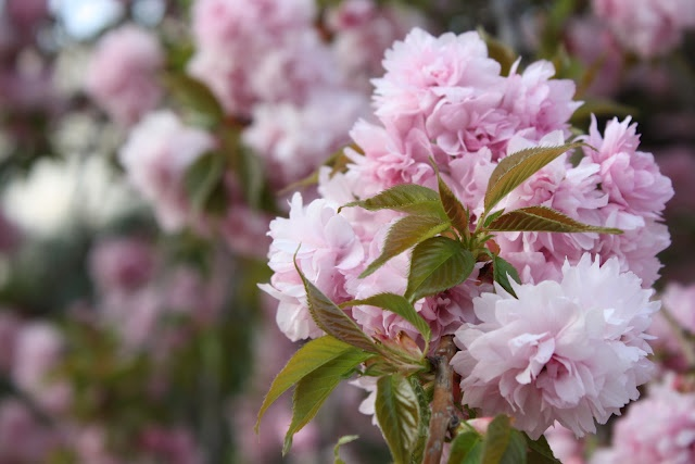 Wendys Hat: Pink Flowering Trees {Garden}Pink Flower, Favorite Places, Pretty Pink, Flower Trees, Koi Gardens, Flower Power, Kayleigh Gardens, Beautiful Gardens, Dreams Gardens