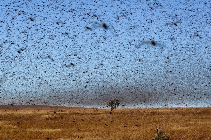 April 27, 2013. A swarm of red locusts 20km north of the town of Sakaraha, Madagascar. // Bilal Tarabey—AFP/Getty Images