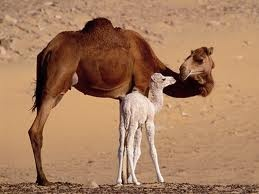 I will have a camel one day!