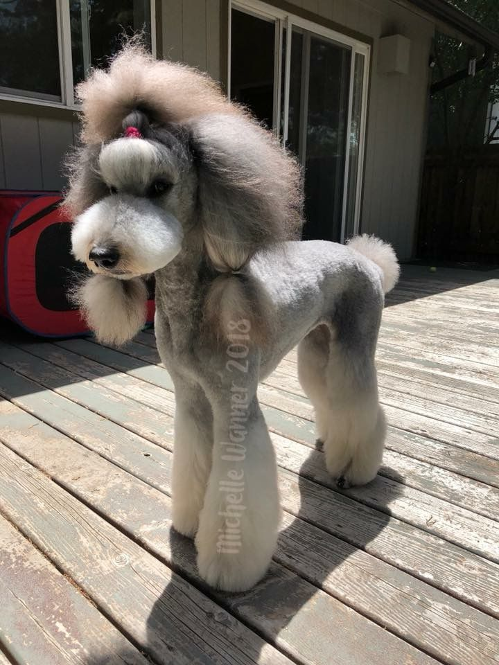 Pin By Luis Duarte On Poodle Poodle Grooming Dog Accesories