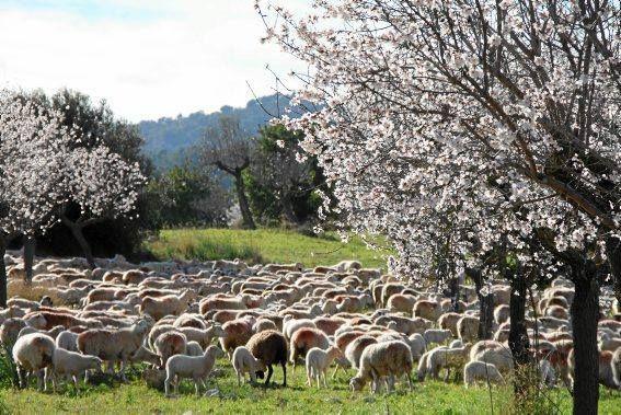 Mandelblüte auf Mallorca   © Foto: Günter Sauter