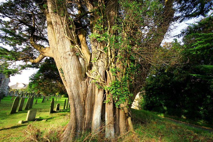 Monterey cypress | by EmyJSkylark