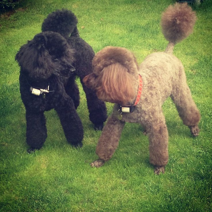 17 Best Images About Pins For Pets On Pinterest: 17 Best Images About Poodles On Pinterest