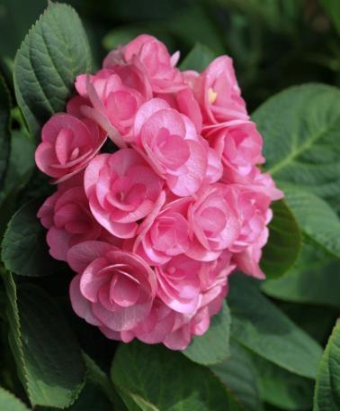 Hortensia 'Beautensia® Papillon' -  Dubbla blommor i härligt rosa!  Hortensia 'Beautensia® Papillon' är unik och blommar med dubbla blommor! Den har en mjuk framtoning och de rosa blommorna sitter ovanför de stora runda bladen. Den ger en härlig touch i din trädgård, på din terrass eller balkong. De vissna blommorna stannar kvar länge på plantan och skiftar färg hela tiden! Den här hortensian är vacker i flera månader och passar i alla trädgårdar!
