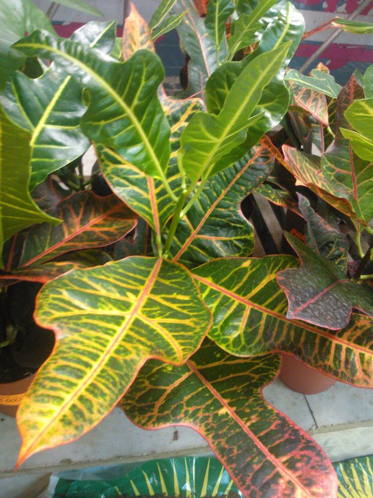 Amazing croton plant: 1 life story of getting acquainted with vegetable life, or 12 secrets of professional stuff's growing conditions & care