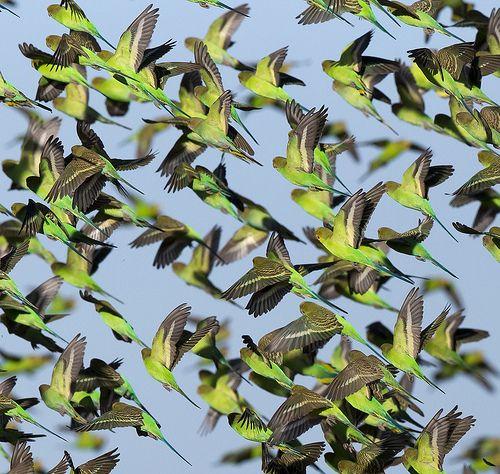 Budgies in flight, Australia