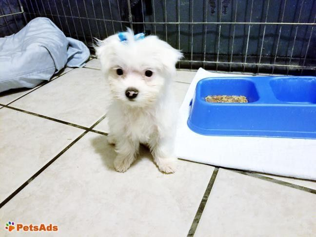 Maltese Female Puppy I Have One Female Maltese Puppy Left She Is