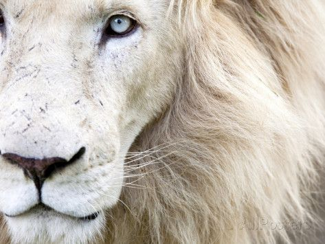 Full Frame Close Up Portrait of a Male White Lion with Blue Eyes. South Africa. Fotoprint van Karine Aigner bij AllPosters.nl