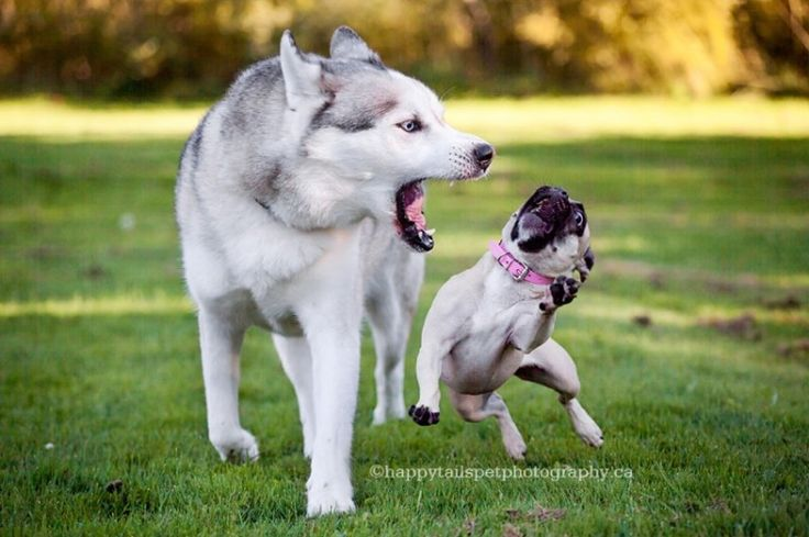 Husky dog yells at small pug dog with funny dog expression while playing during professional pet portraits in Burlington, Ontario.