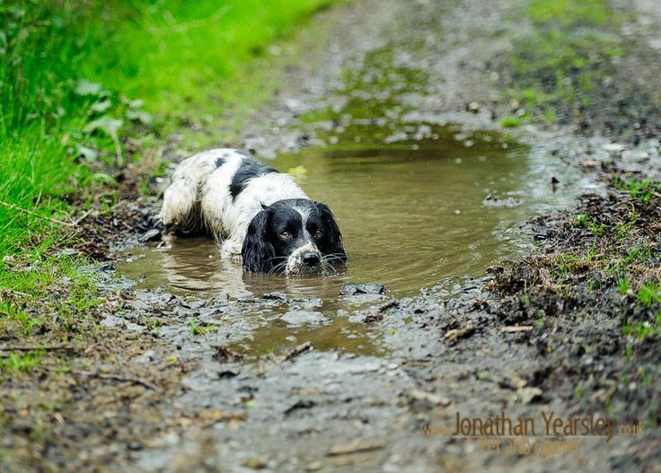 Springer spaniel in water #fine-art-pet-photography www.jonathanyearsley.co.uk