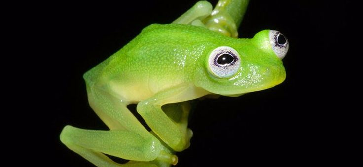 Odkryto nowy gatunek żaby. Wygląda zupełnie jak Kermit! #nauka