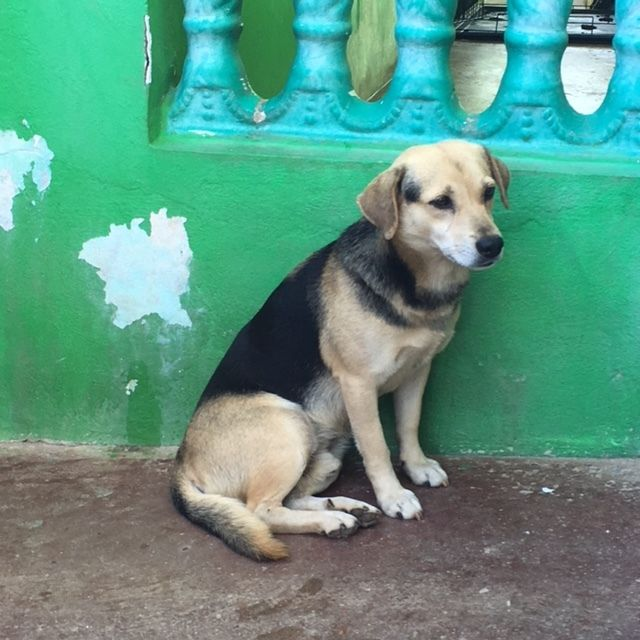 Adopt Peewee On Petfinder Dog Adoption Dogs Shepherd Mix Dog