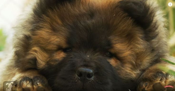 Want to see an AWWWmoment? This super cute fluffy Chow Chow puppy seems to be so sleepy andwants to take a nap, but keeps on trying to fight off the temptation of sleep. Watch the video below and seeas this cute fluffy Chow Chow puppy falls asleep!This cute little pup will surely make you want …