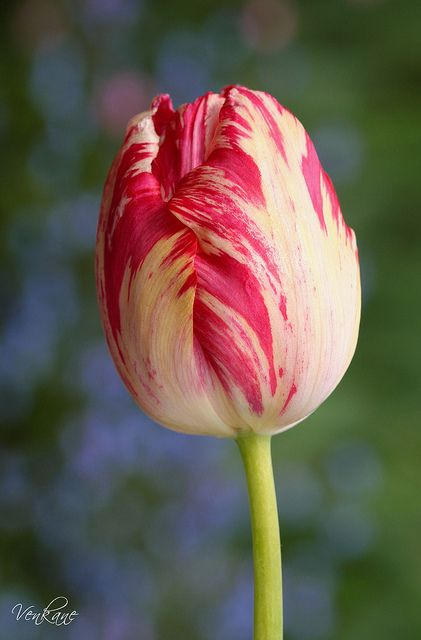 Varied color tulip beautiful flower pinterest colors for What season are tulips