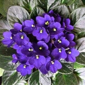 Violets in Lilacs & Violets