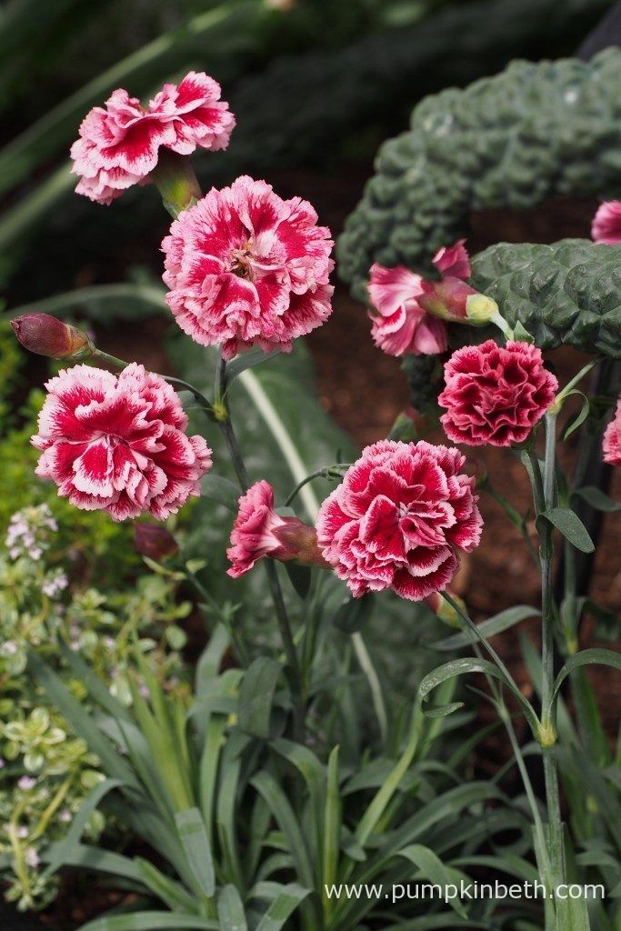 These pretty Dianthus flowers are also known as 'pinks', they produce a sweet yet spicy and delicious fragrance, pictured in the RHS Kitchen Garden, designed by Juliet Sargeant for the RHS Hampton Court Palace Flower Show 2017.
