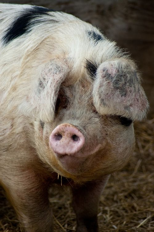 Domestic Pigs: Breeds and Terminology - Gloucester Old Spot