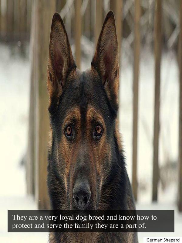 Checking Out The European German Shepherd German Shepherd