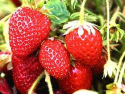 Grow strawberries in containers: talks about what type, etc.