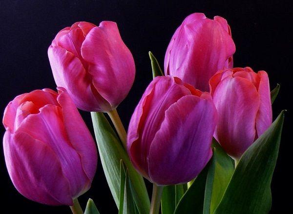 Resultado de imagen para tulipan