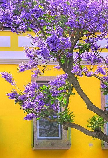 Jacaranda by Tereza del Pilar: Wish-O-Wish I could grow these in NC instead of CA.