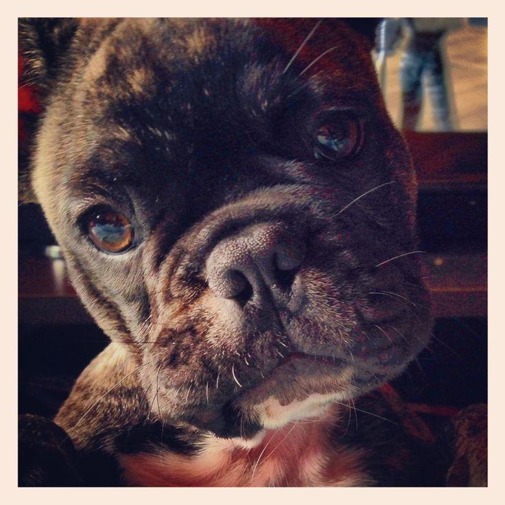 Bravo bulldog frances
